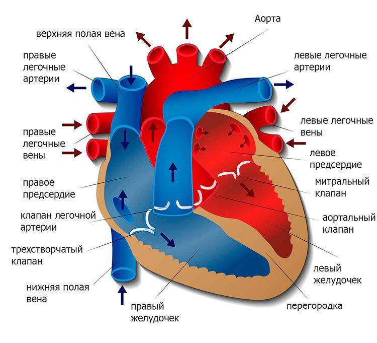 диаграмма сердца человека