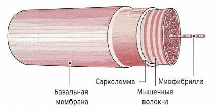 Сарколемма и базальная мембрана