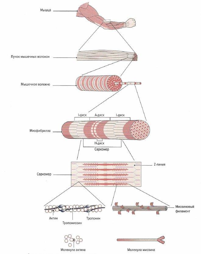 Строение поперечнополосатых скелетных мышц