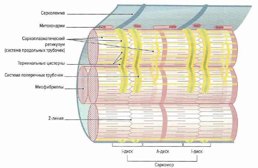 Строение саркоплазматического ретикулума и систему поперечных Т-трубочек