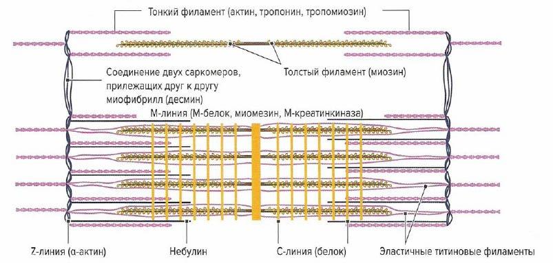 белки саркомера