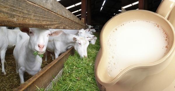 козы и их молоко