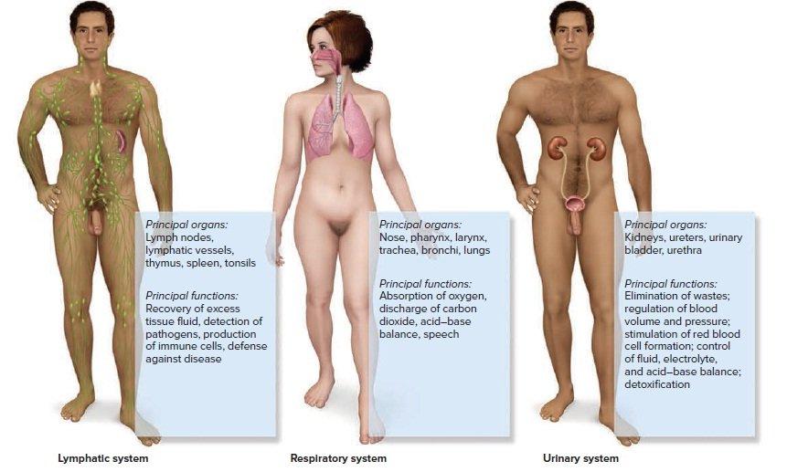 органы тела