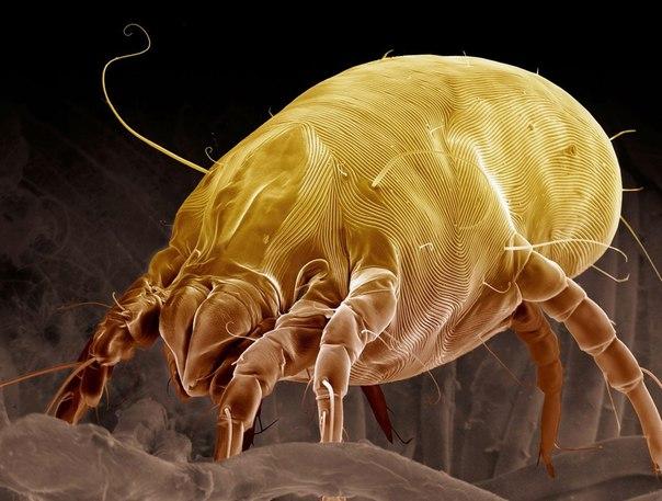 Pyroglyphidae