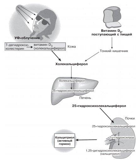Образование кальцитриола из витамина D