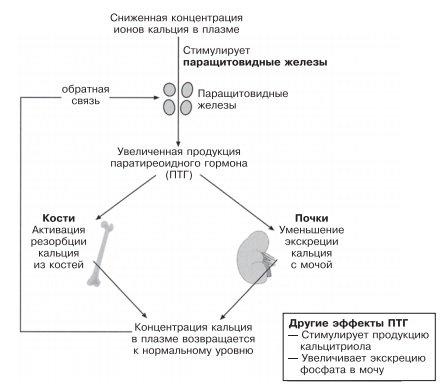 Регуляция концентрации кальция в плазме паратиреоидным гормоном