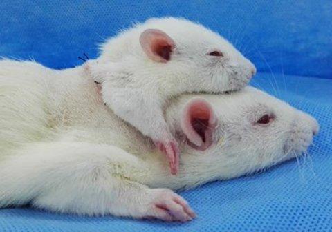 пересадили голову крысе