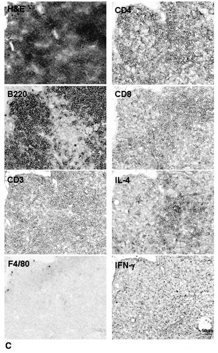 Лимфоидные агрегаты колонизируются CD3 + Т-клетками