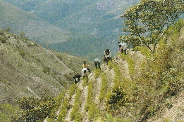 Сбор урожая коки в Боливии