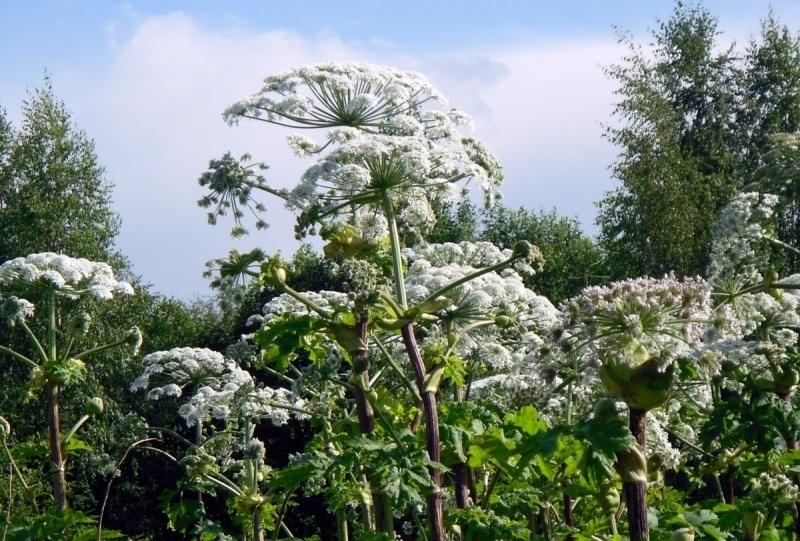 Борщевик - опасное растение