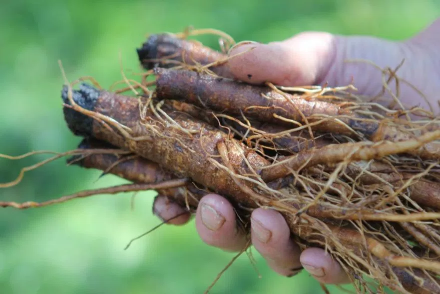 корень лопуха