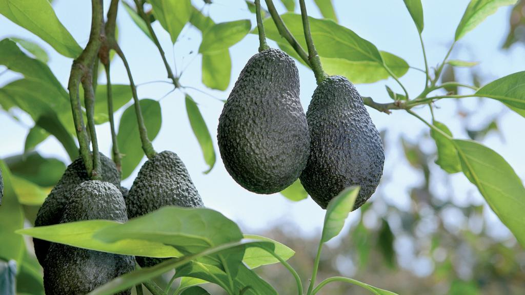 авокадо растет