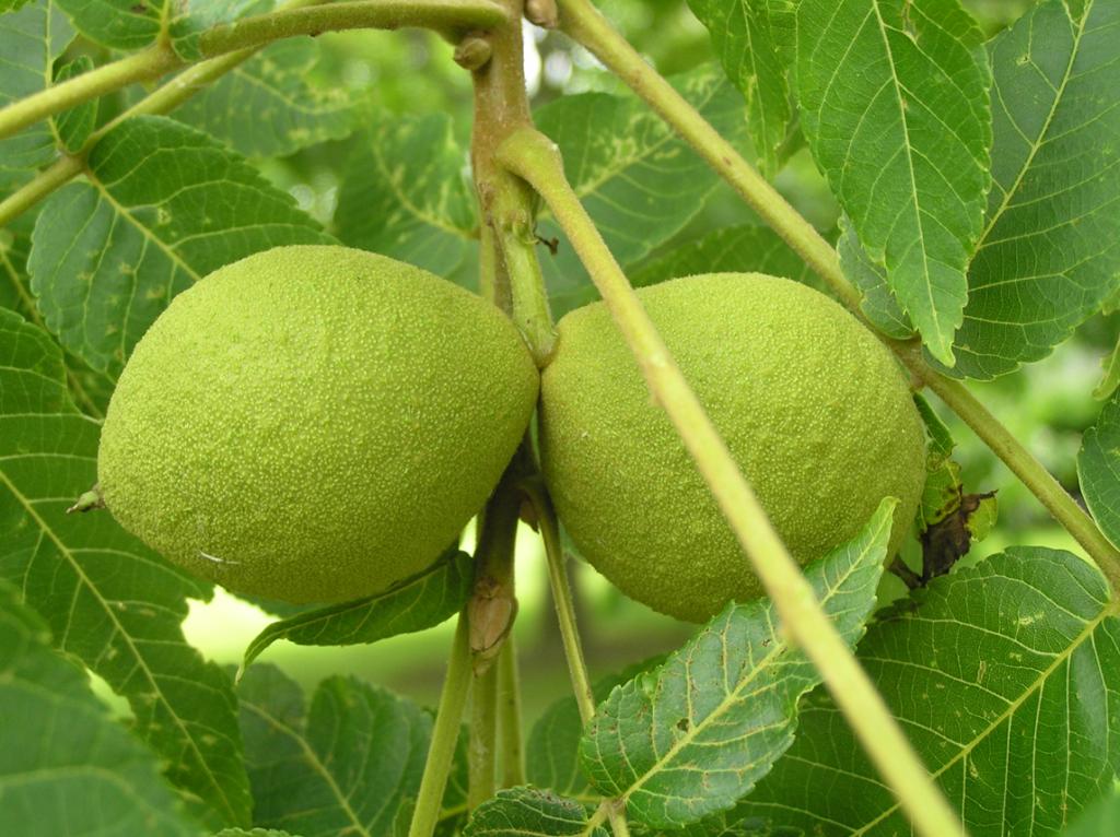 Зеленые орехи от болезней
