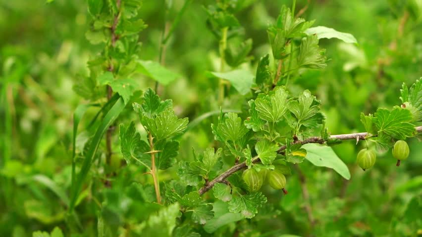 зеленый крыжовник на кусте