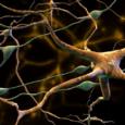 Как «вспомогательные клетки мозга» могут способствовать шизофрении