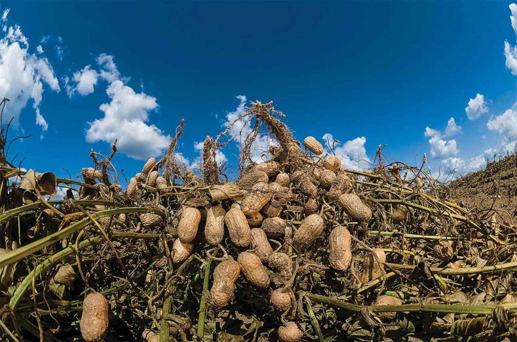 выращивание арахиса на ферме