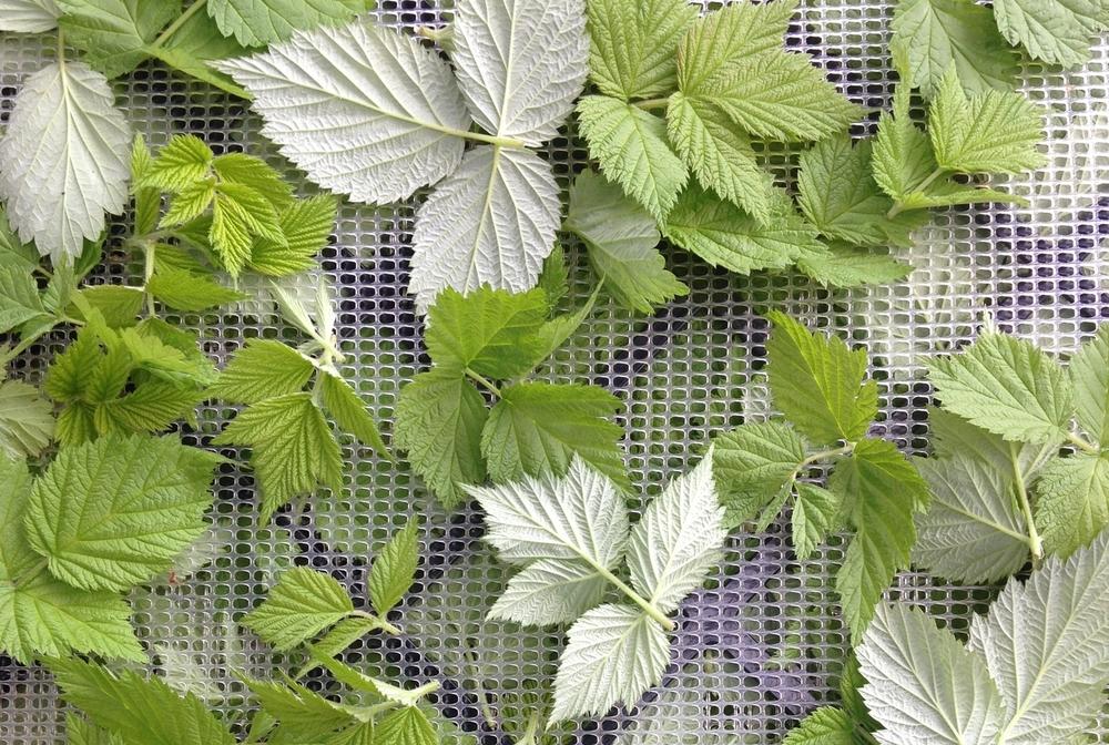 Полезны ли листья малины?