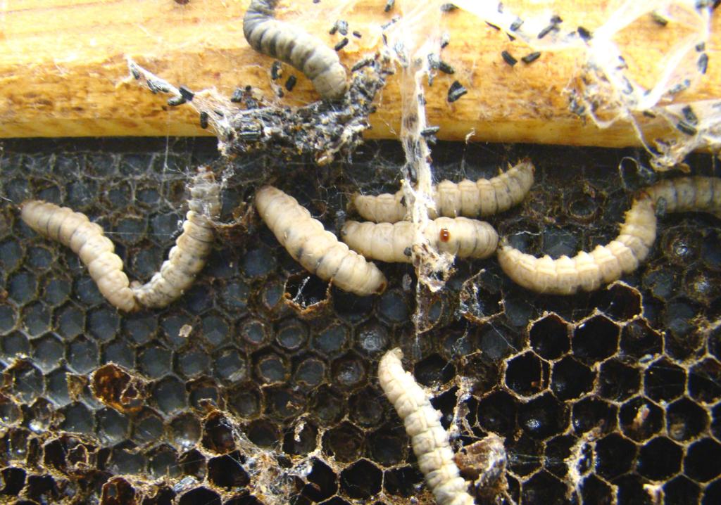 личинки восковой мол и в улье