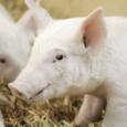 Трансплантация от свиней к человеку: CRISPR делает это возможным