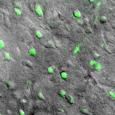 Магнитные поля контролируют мозговые клетки мышей