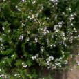 8 трав для здоровья легких
