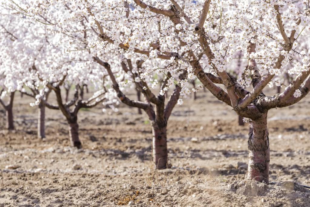 Миндальные деревья цветут