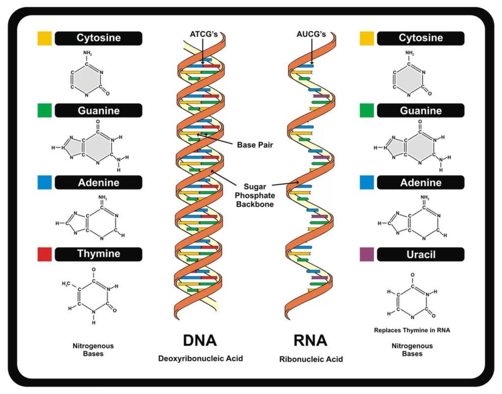 Структура ДНК и РНК
