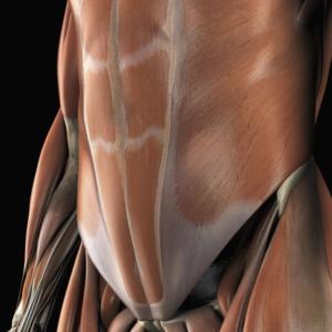 Анатомическая модель, показывающая нижние мышцы живота