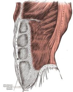 Внешние наклонные мышцы