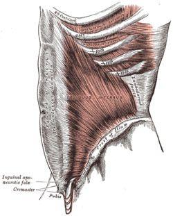 Внутренние косые мышцы