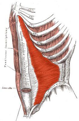 Мышцы Transversus Abdominis