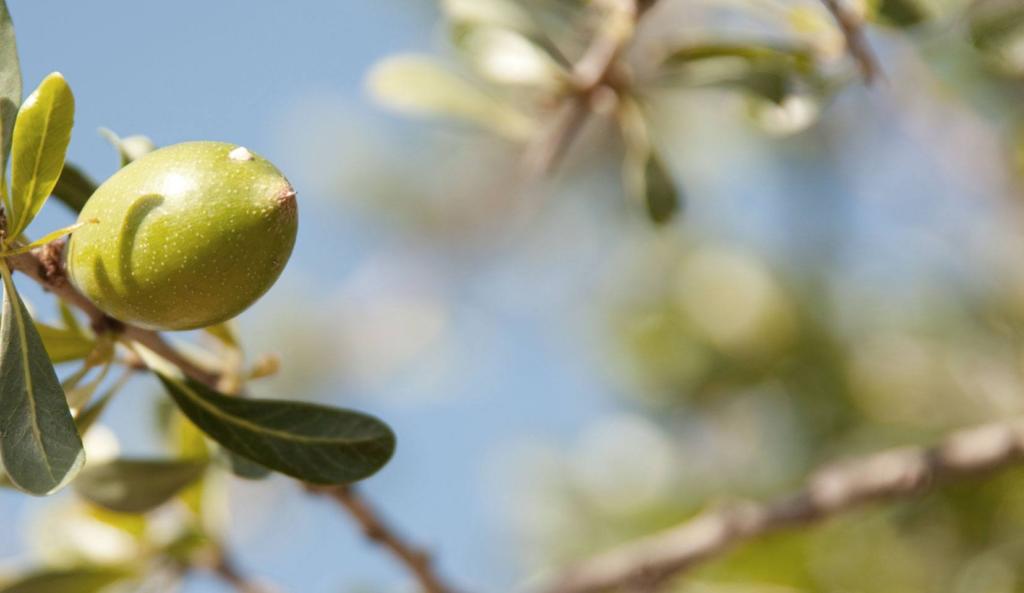 Аргановое масло из плодов дерева