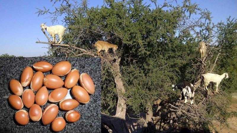 Козы на дереве Аргано