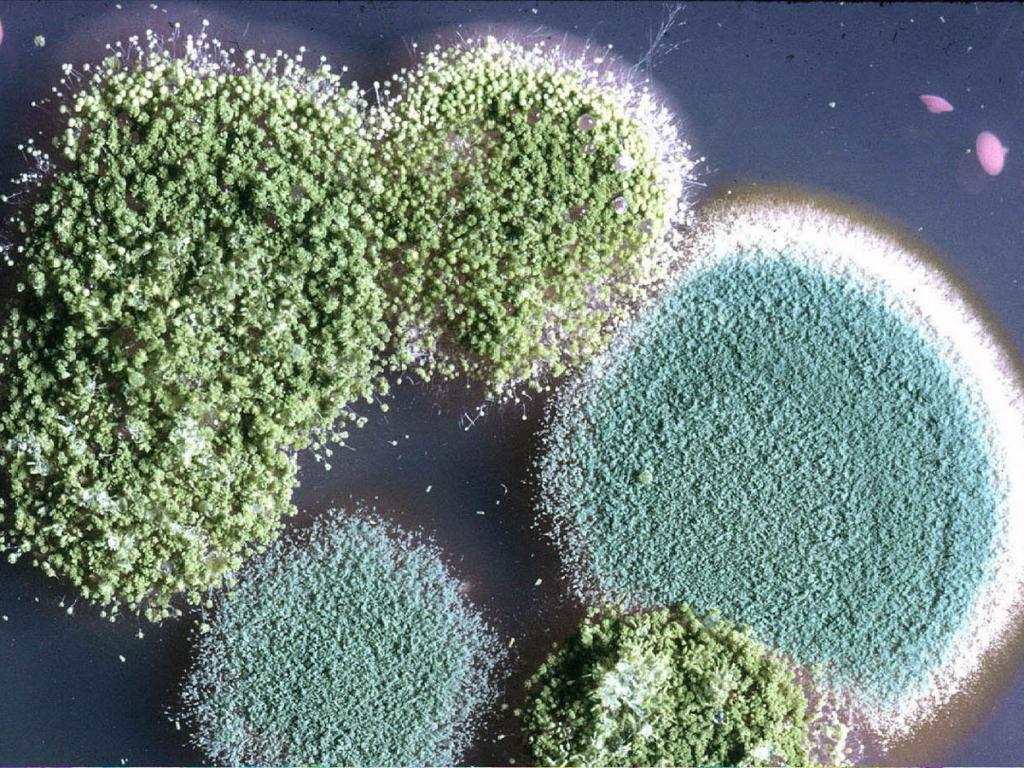 Aspergillus flavus и Penicillium cyclopium