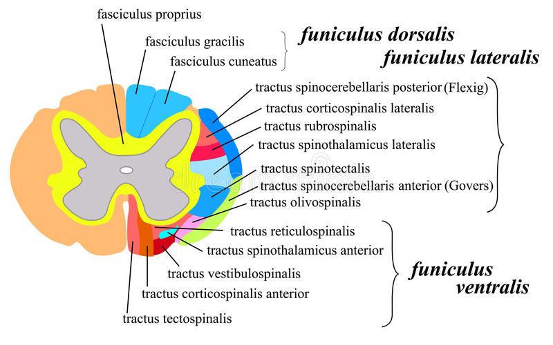 Состав белого вещества спинного мозга