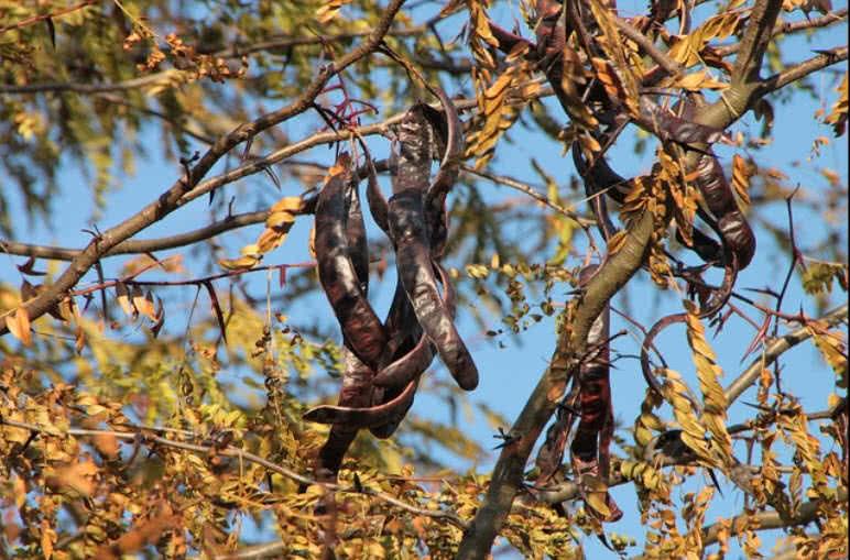 Рожковое дерево стручки