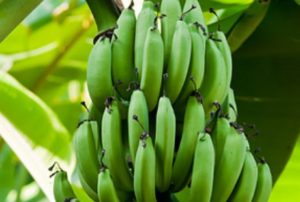 Незрелые бананы