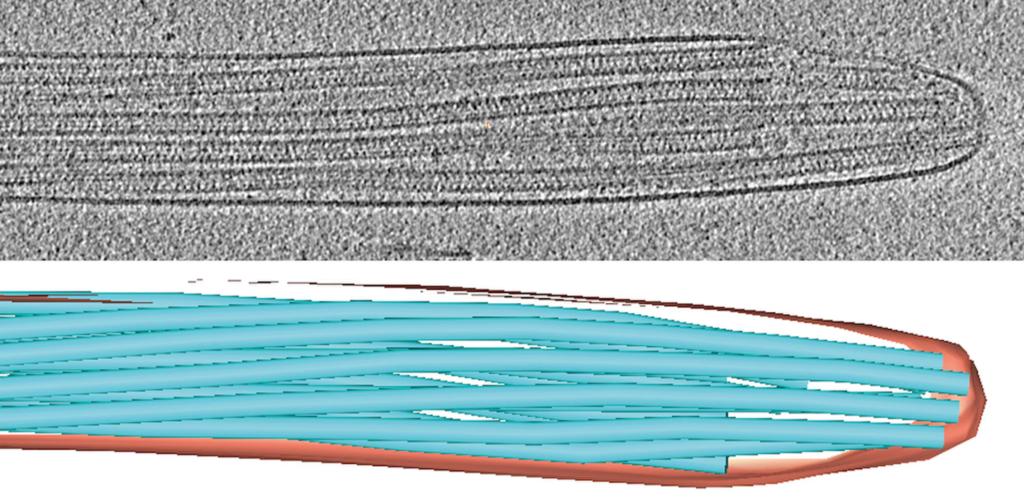 Исследователи обнаружили таинственную структуру в хвостах спермы с помощью криоэлектронной томографии