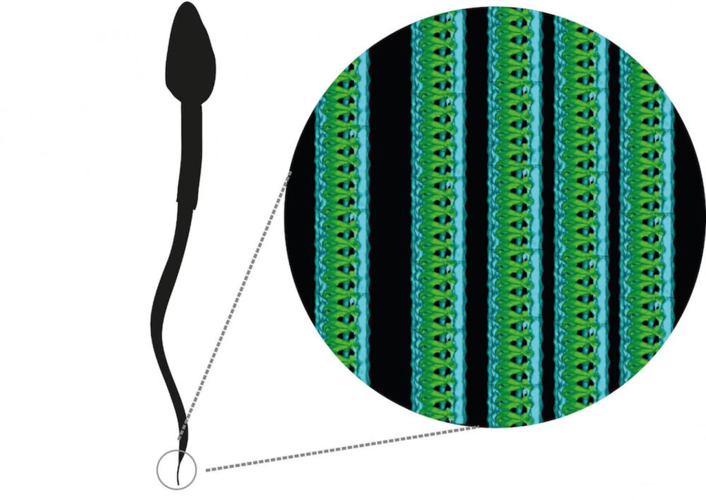 Исследователи обнаружили ранее неизвестную спиральную наноструктуру в хвостах спермы человека
