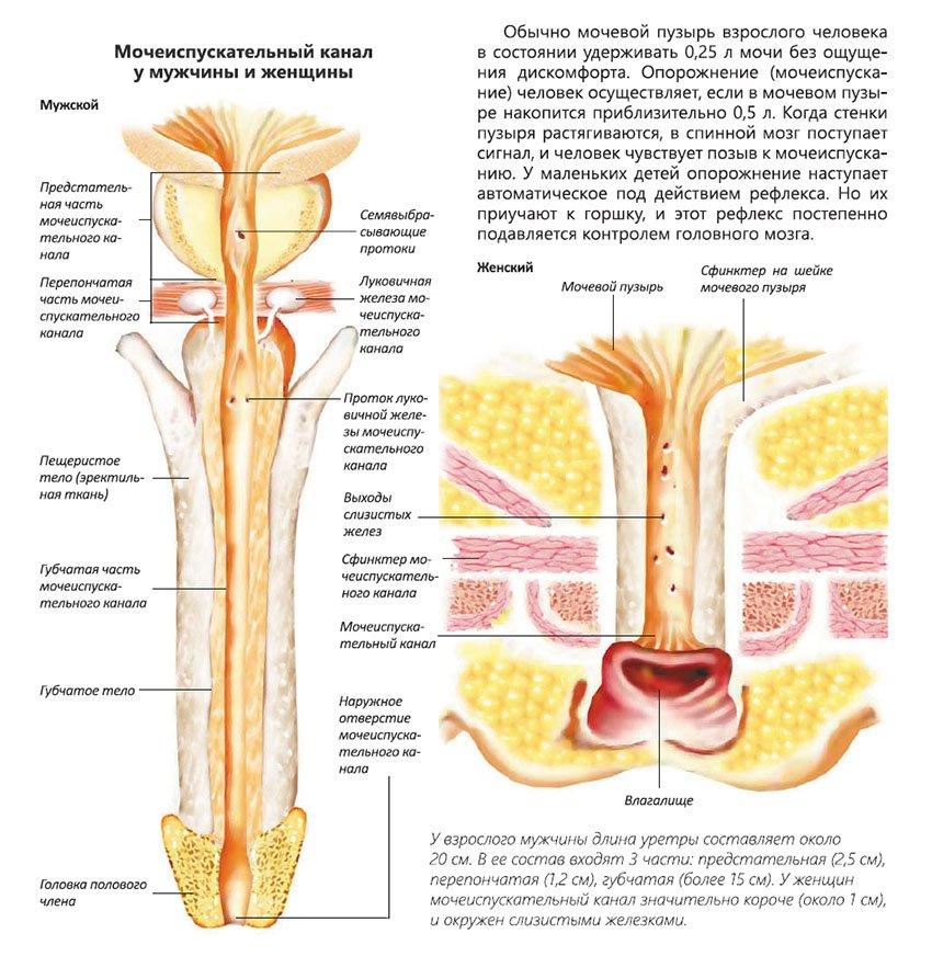 мочеиспускательный канал у мужчины и женщины инфографика