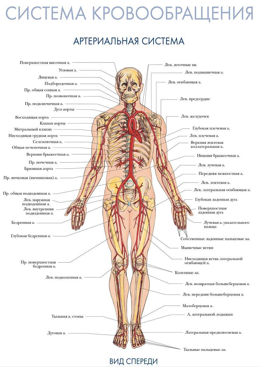 артериальная система