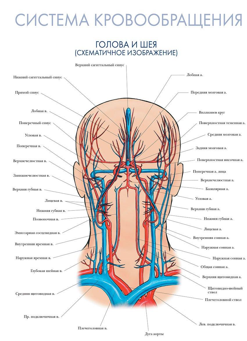 кровообращение головы и шеи