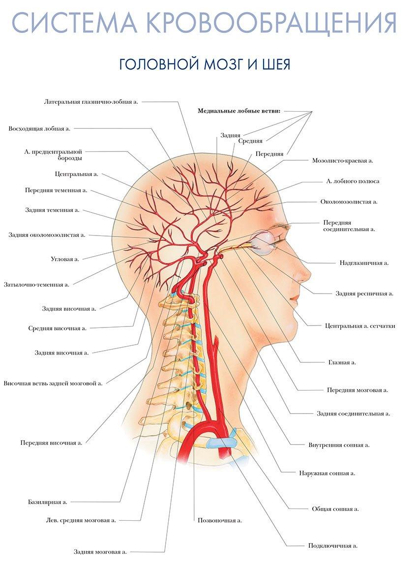 система кровообращения головного мозга и шеи