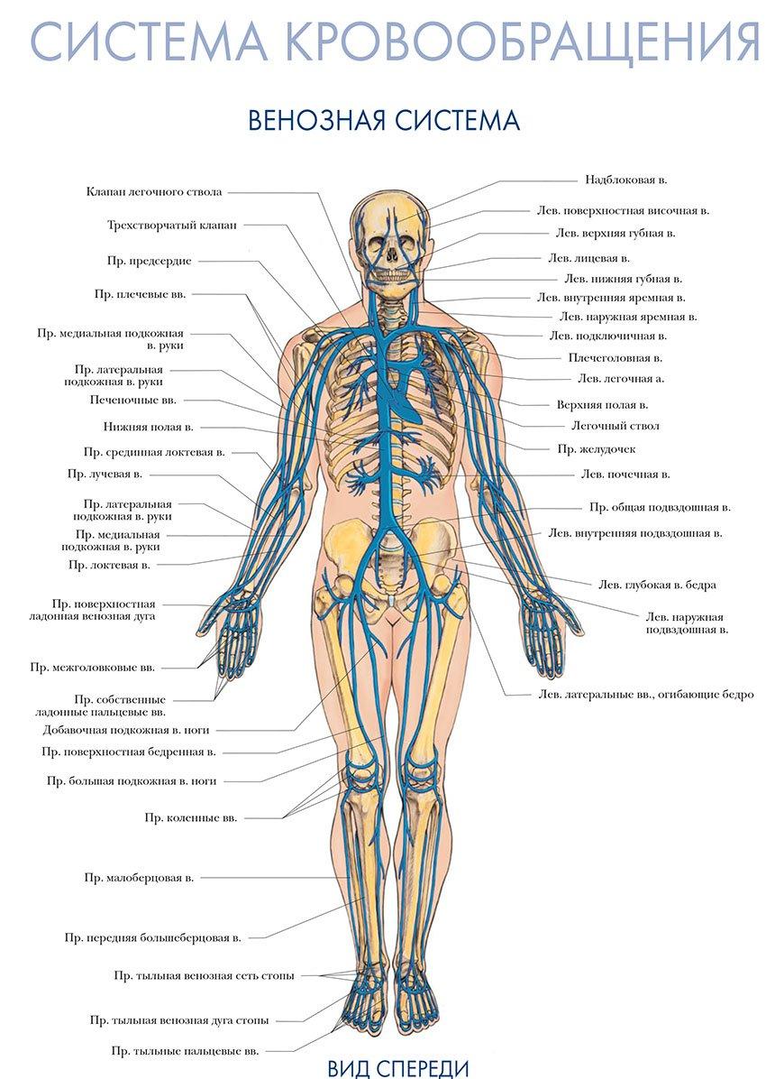 венозная система вид спереди