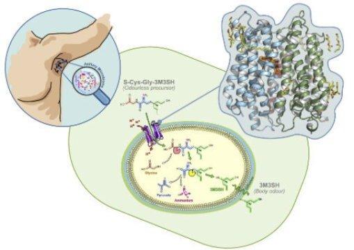 микробиоз подмышки