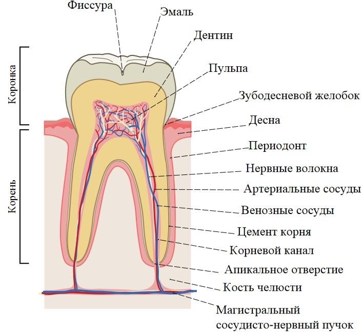 зубные каналы и пульпа